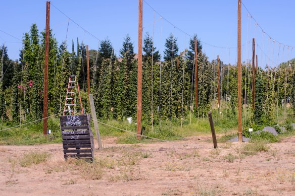 Hop vines awaiting a harvest